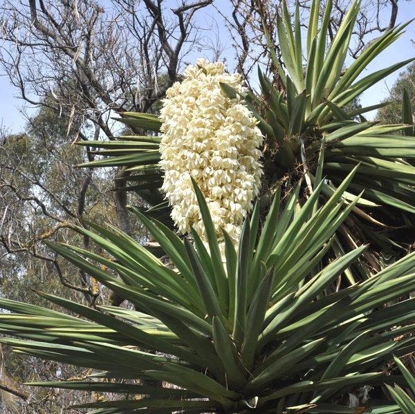 ming Yucca treculeana, white flowers, sword-like leaves