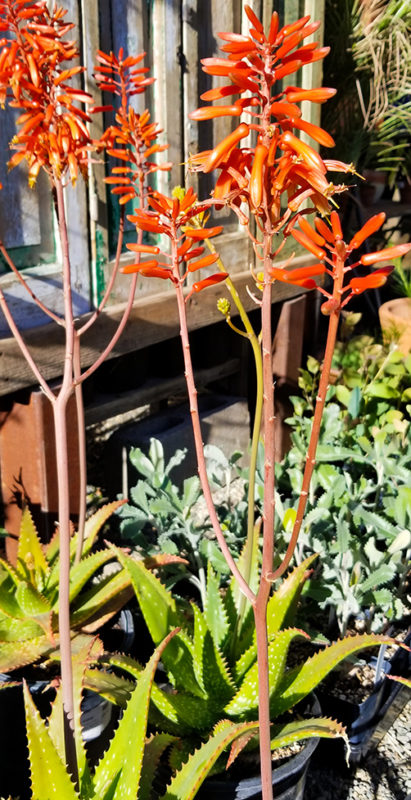 bright red tubular flowers on an aloe plant for sale at The Ruth Bancroft Garden and Nursery