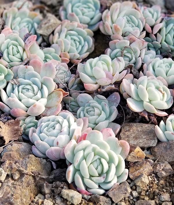 pale blue echeverias in the ground
