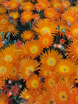 bright orange flowers on an ice plant at the ruth bancroft garden