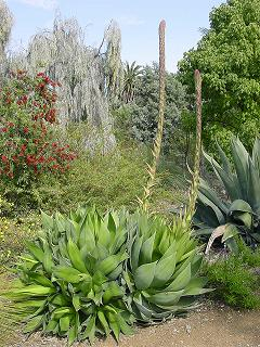 A picture of the agave chiapenis